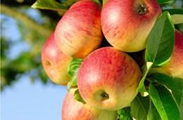 У тебя — плоды!